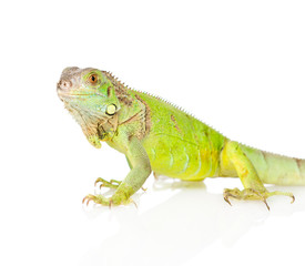 Closeup green iguana in profile. isolated on white background