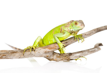 green agama crawling on dry branch. isolated on white background