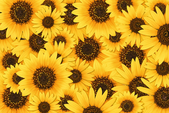 Wild sunflower blossom background