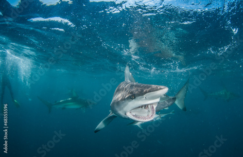 Fototapete Tiger Shark with blacktip sharks