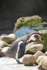 Poster Penguin Humboldt pinguïn, Sphenicus humboldti, Zuid-Amerika