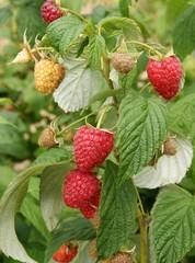 ripe raspberries on bush in a garden