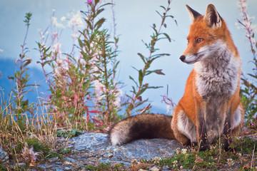 Wall Mural - Portrait of a Fox: a friendly poser