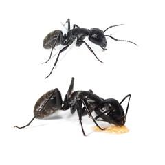 Big forest black ant isolated on white, Carpenter ant