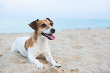 Small relaxing dog on the beach