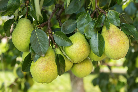 Fresh ripe pears on the pear tree