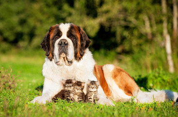 Saint bernard dog with little kittens