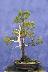 Bonsai tree European spruce (Picea abies)
