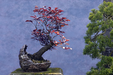 Bonsai tree red Plum