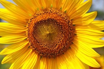 Close up sun flowers