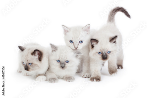 cute ragdoll kittens stock photo and royalty free images on fotolia