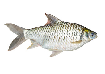 Common Carp fish Isolated on White.