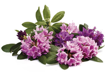 Wall Mural - Rhododendron blüten (Rhododendron)