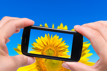 Hands taking photo sunflower with smartphone