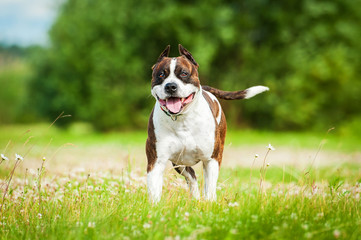 American staffordshire terrier running in summer