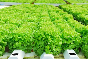 Red oak, green oak, cultivation hydroponics green vegetable in f