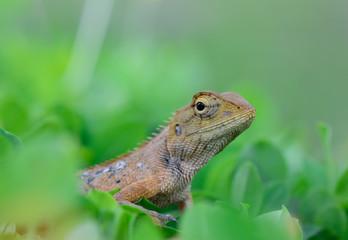 side view  of Oriental garden lizard (Calotes mystaceus) standin