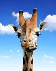 Foto op Plexiglas Stenen in het Zand The head of the giraffe