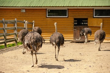 Group of ostriches on a farm in sunny day