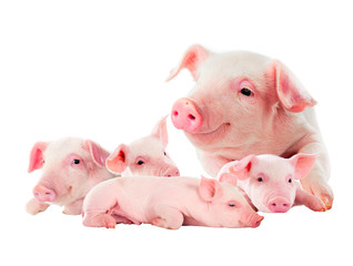 The sow with its pink piglets. isolated on white.