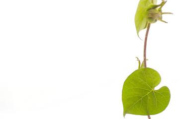 heart shaped green leaf