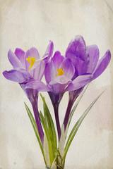 Watercolor purple crocus