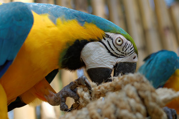 Poster Parrot blue and yellow macaw
