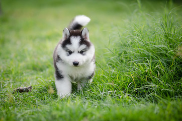 Puppy siberian husky  on grass