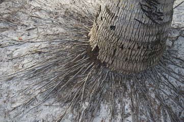 Weathered Palm Tree with Roots