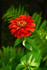 flowers Tsiniya