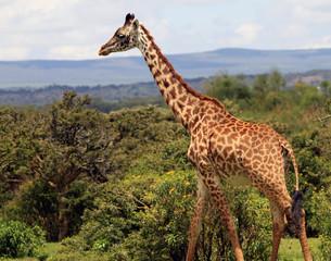 Giraffe moving alone