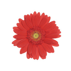Red daisy flower isolated on white
