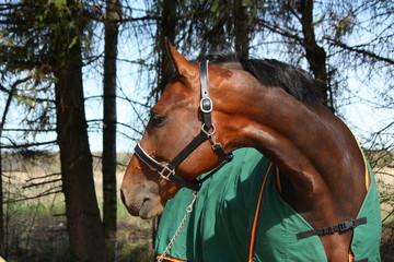 Latvian breed bay horse in green coat portrait in summer