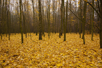 the autumn wood - the trees growing in the wood in an autumn season. on the earth the fallen-down yellow foliage lies