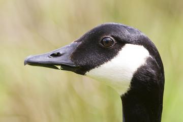 Canada Goose Side profile portrait