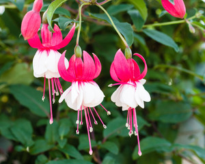Pink and white fushia flowers in bloom