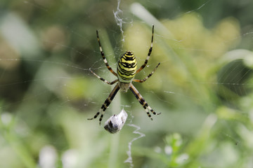 Garden spider (Argiope aurantia) in the net with wrapped prey