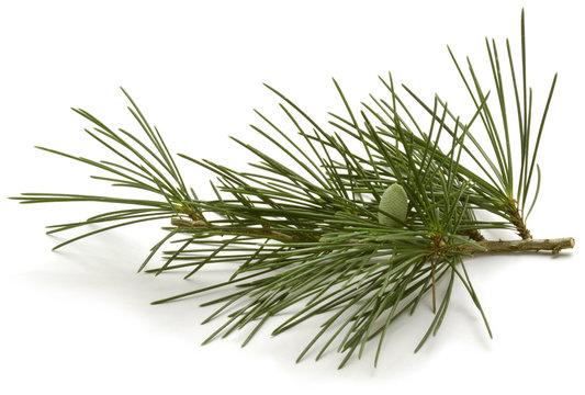 Pinus sylvestris Scots pine Waldkiefer Sosna zwyczajna