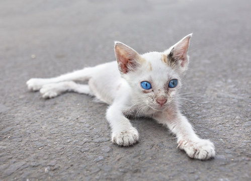 Young white stray cat with blue eyes on the street, Egypt.