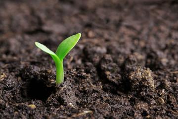 Obraz small green seedling in the ground - fototapety do salonu