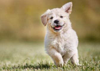 Playful golden retriever puppy