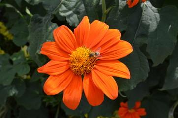 kleine Dahlien - Blüte mit Biene