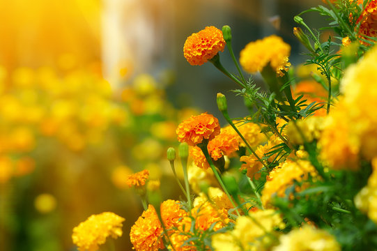 Beautiful Marigolds (tagetes)