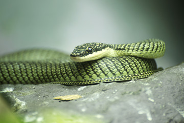 Close up Golden tree snake