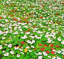 Impatiens flower in the garden