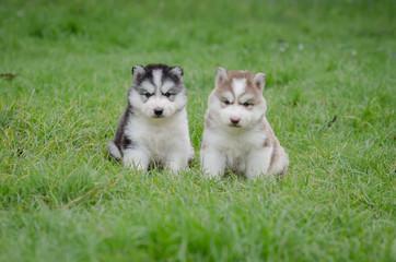 Cute puppies siberian husky on grass
