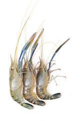 Raw giant freshwater prawn