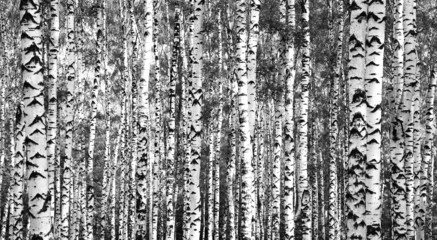 Trunks birch trees black and white