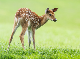 Fototapete - fallow deer- baby animal
