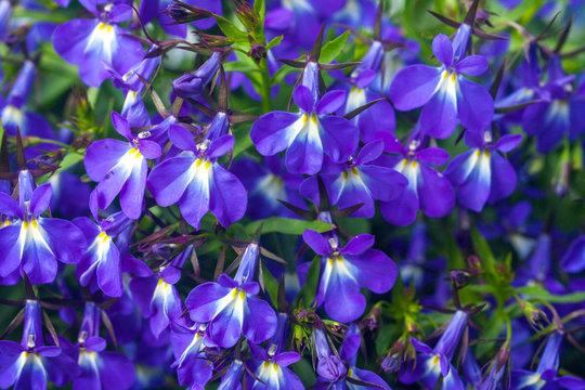 lobelia flowers,lobelia erinus, closeup